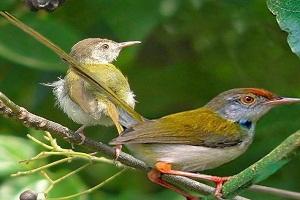 Inilah Cara Budidaya Burung Prenjak Lumut Bagi Pemula