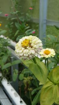 Stek Batang Bunga Zinnia Tumbuh dalam Waktu Dua Minggu – Cara dan Perawatan
