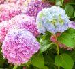 7 Cara Agar Bunga Hortensia Cepat Berbunga