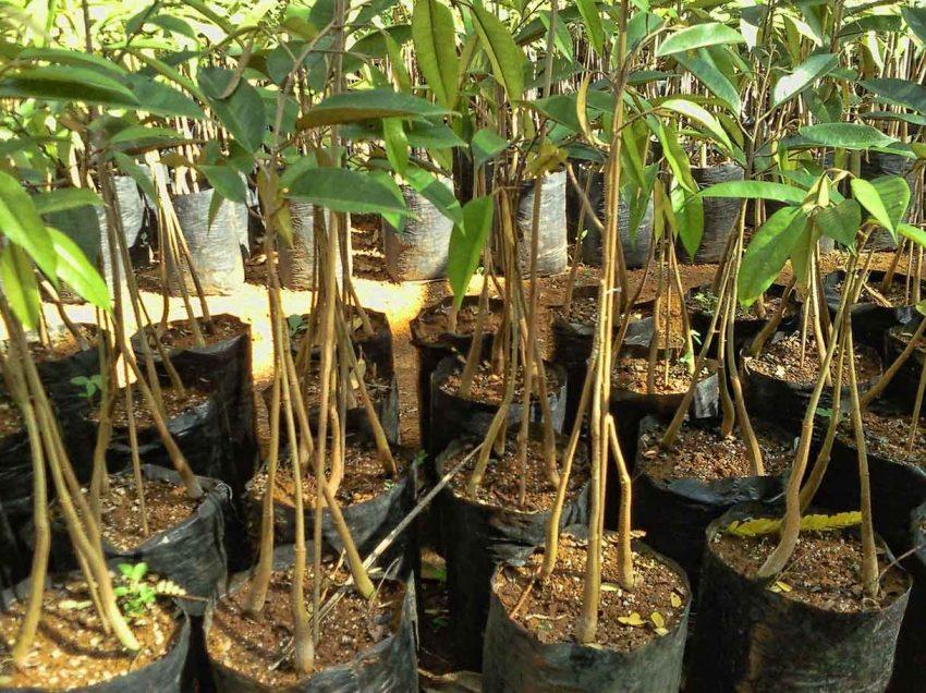 Cara Stek Pohon Durian Berkaki Tiga – Sederhana dan Mudah