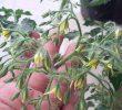 Kenapa Bunga Tomat Rontok: Penyebab dan Cara Mengatasinya