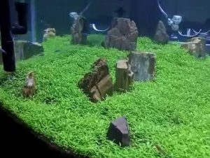 cara membuat tanaman karpet aquascape