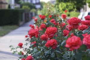 Bagaimana Cara Penanaman Mawar Cabutan dan Cara Merawatnya?
