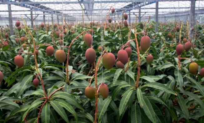 7 Manfaat Dari Menanam Pohon Mangga dengan Mencangkok