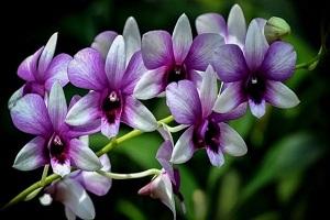 Manfaat Air Cucian Beras untuk Bunga Anggrek