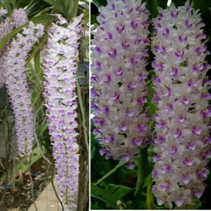 Download 80 Koleksi Gambar Macam Bunga Anggrek HD Gratid