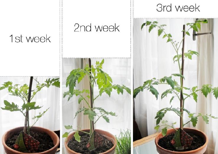 Cara Membesarkan Batang Pohon Menggunakan Hormon dan Pupuk