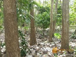Jenis Tanaman yang Cocok Untuk Tanah Kapur dan Karaktersitik yang Perlu Diketahui