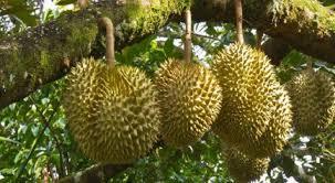 Jenis Tanah yang Cocok untuk Tanam Durian – Karakteristik, Kelebihan dan Kekurangan