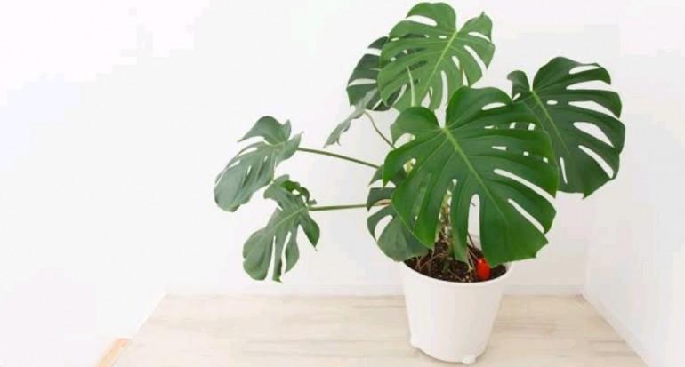 Cara Budidaya Tanaman Hias Philodendron dan Perawatannya