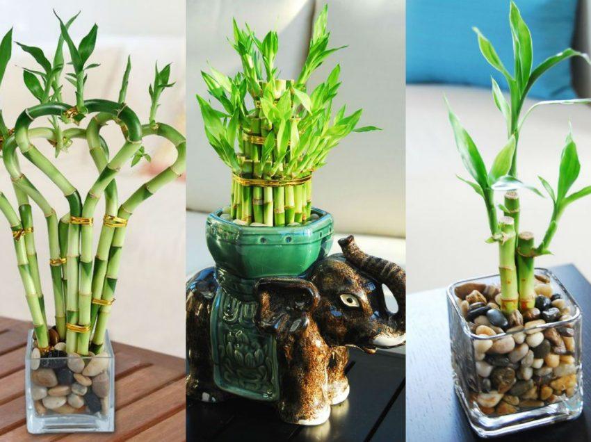 Letak Tanaman Bambu Air Menurut Feng Shui dan Cara Merawatnya