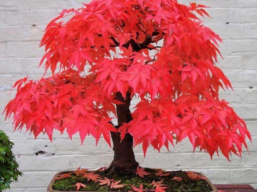 Cara Menanam Biji Red Maple dan Perawatannya