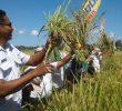 Usaha Pemerintah dalam Meningkatkan Produksi Padi di Kupang