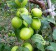 Cara Stek Pohon Apel India dan Perawatannya Agar Subur
