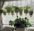 Cara Stek tanaman Gantung dan Perawatannya