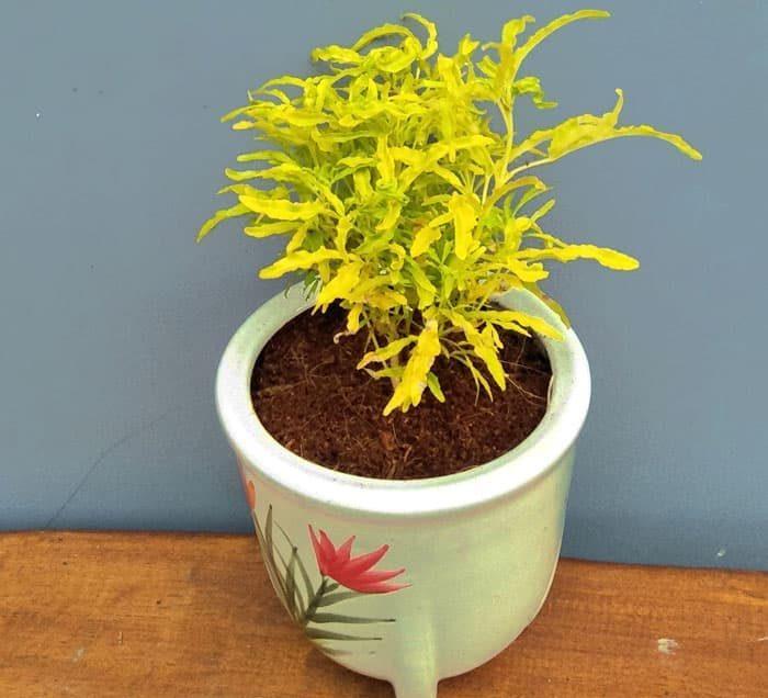 Cara Menanam Tanaman Hias Brokoli Kuning dan Perawatannya