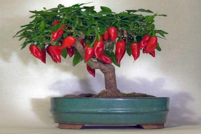 Inilah 5 Cara Membuat Pohon Cabe Bonsai dan Cara Perawatannya