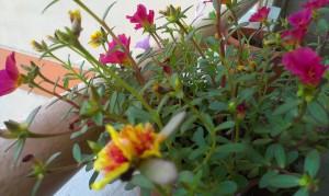 Praktekan Cara Menanam Bunga Pukul Sepuluh dan Peraawatannya