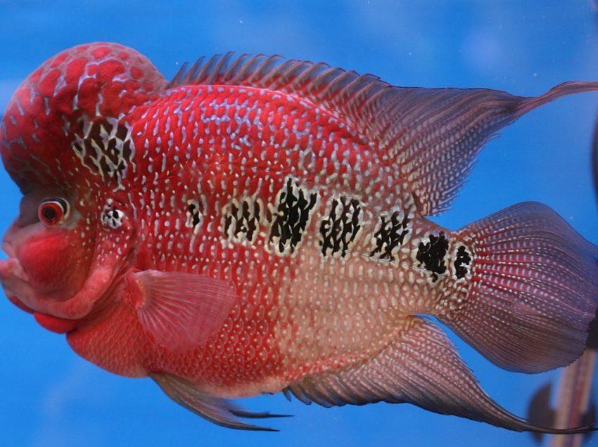 Cara Memilih Bibit Ikan Louhan Yang Bagus untuk Budidaya