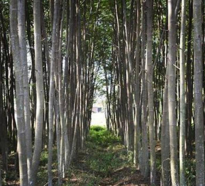 Cara Merawat Pohon Sengon Umur 1 Tahun Agar Subur
