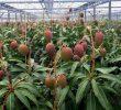 Cara Merawat Pohon Mangga Irwin Agar Subur dan Berbuah Lebat
