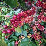 Tanaman yang Cocok di Ketinggian 1000 MDPL