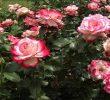 Bunga yang Cocok Ditanam Saat Musim Hujan dan Mudah Perawatannya