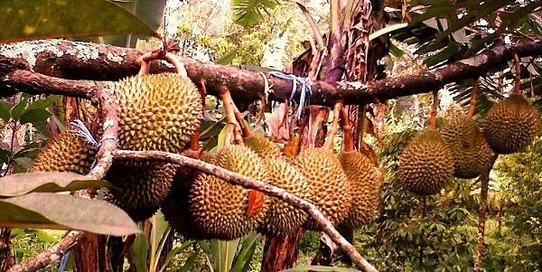 Inilah 4 Cara Memilih Bibit Durian yang Cepat Berbuah