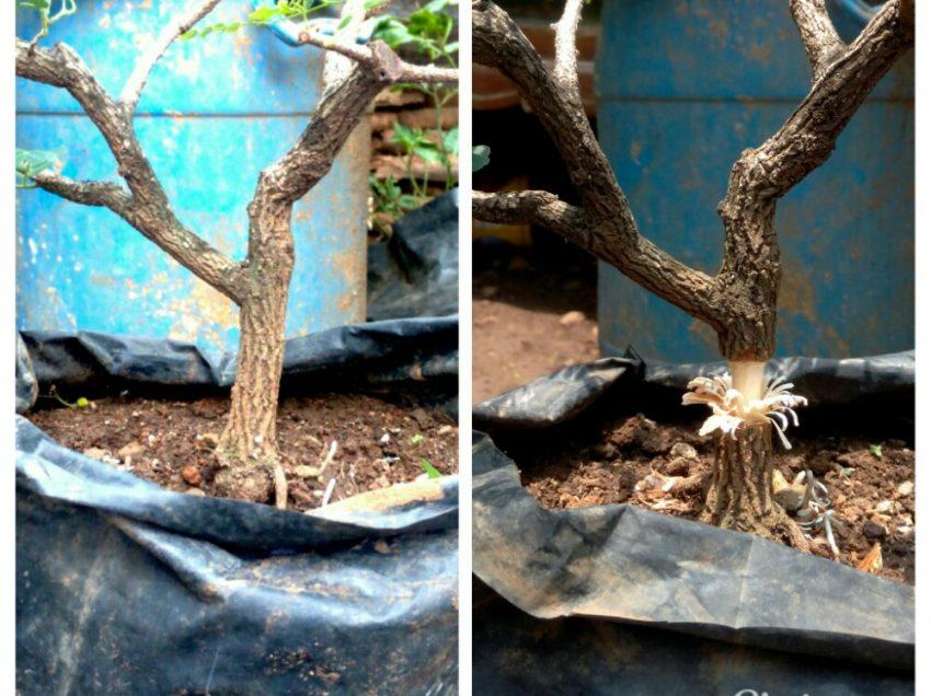Cara Stek Pohon Asam Jawa – Hasil Panen Lebih Subur