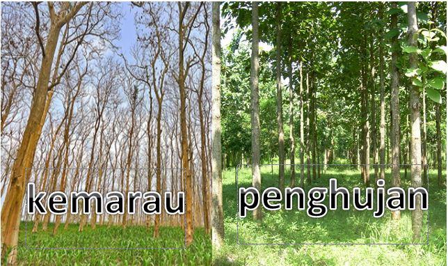 Kenapa Pohon Jati Menggugurkan Daunnya Pada Musim Kemarau?