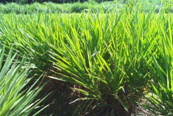 Cara Memupuk Rumput Odot dan Hasil yang Subur (Pakan Ternak)