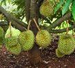 Cara Memupuk Durian dengan Pupuk Nasa dan Perawatannya Agar Panen Berhasil