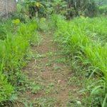 Cara Menanam Rumput Buat Kambing
