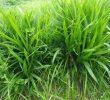 Cara Menanam Rumput untuk Pakan Domba – Selalu Subur