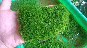 Beginilah Cara Menanam Rumput Cuba dan Perawatannya