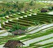 Cara Bercocok Tanam Padi di Indonesia dan Tips Agar Panen Berhasil