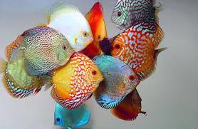Cara Budidaya Ikan Discus di Aquarium – Tips dan Trik