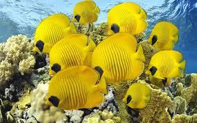Cara Budidaya Ikan Butterfly Fish Sampai Panen