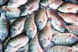 Cara Budidaya Ikan Nila Monosex – Proses Pembenihan Sampai Panen