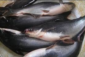Cara Budidaya Ikan Patin di Kolam Tanah – Tips Pemelirahaan yang Baik