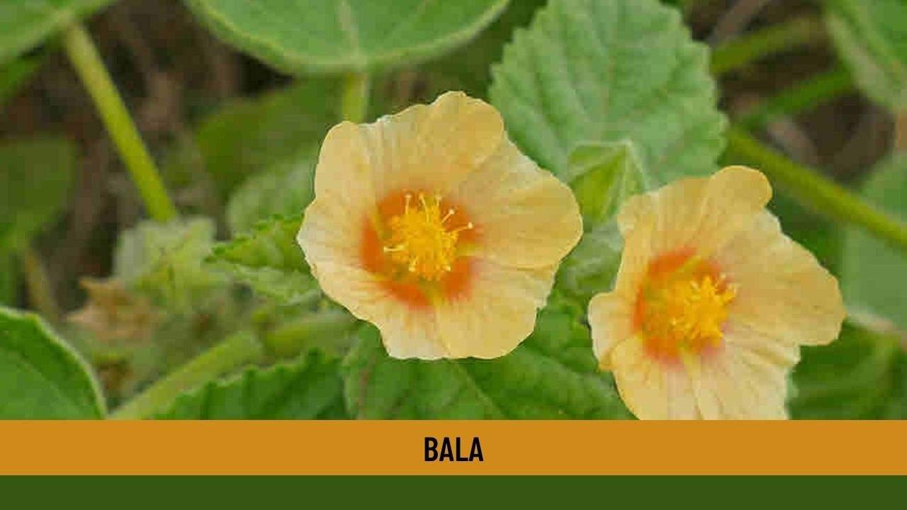 Bala health benefits