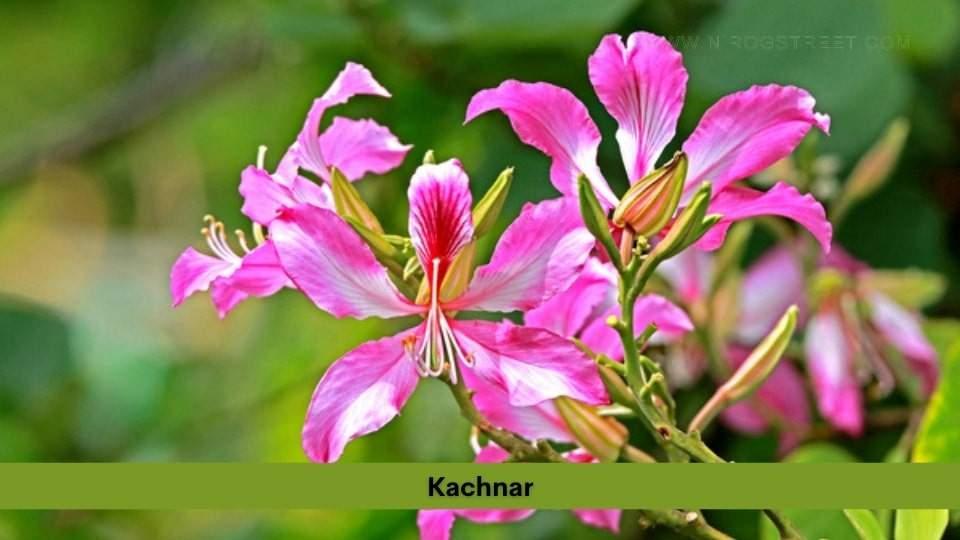 Kachnar