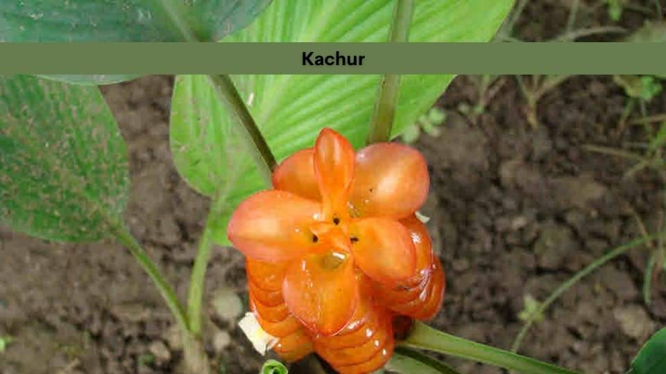 Kachur
