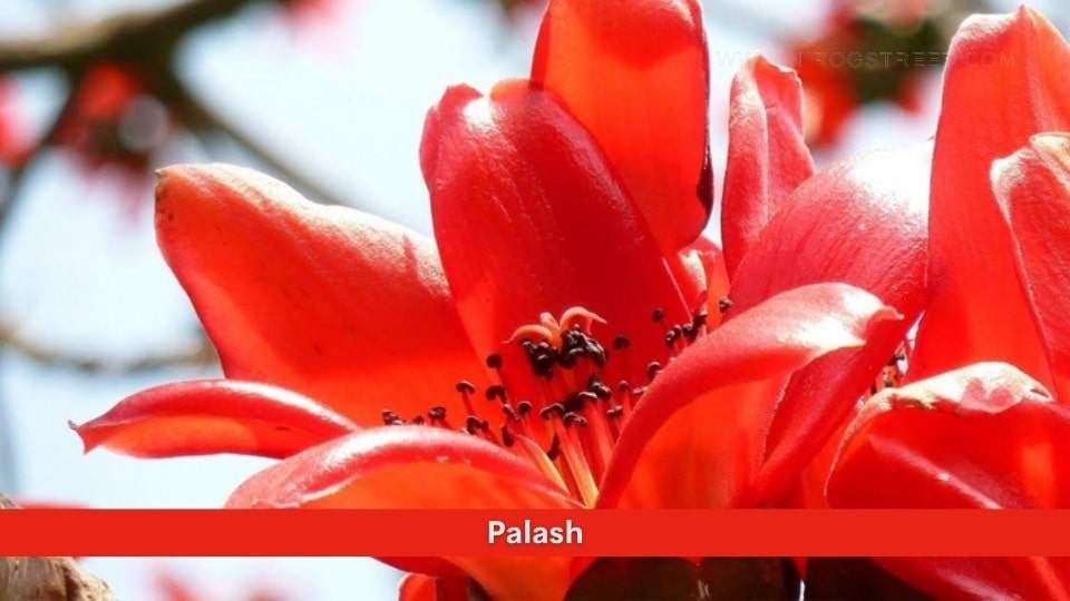 Palash