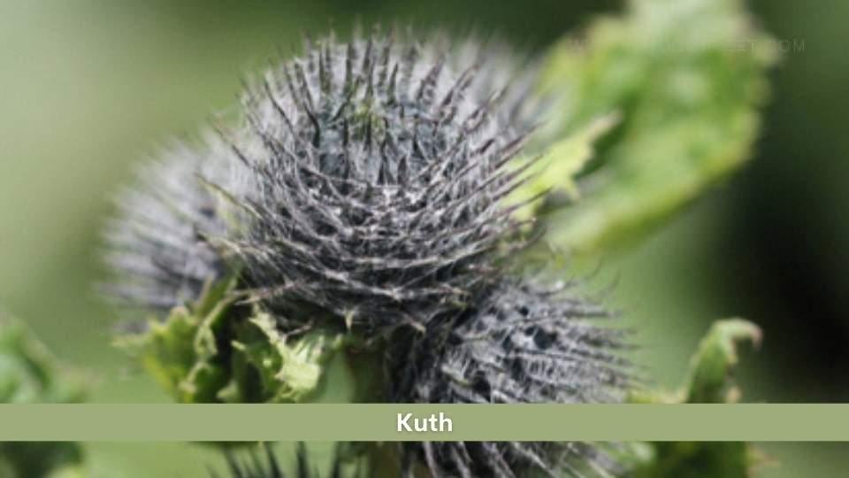 Kuth Health Benefits