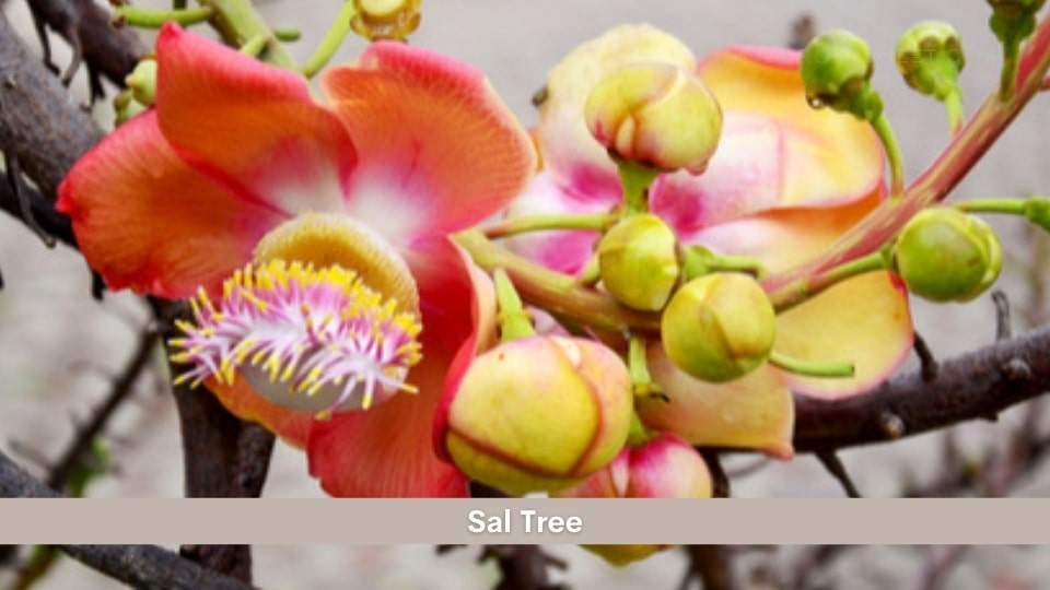 Sal Tree Health Benefits