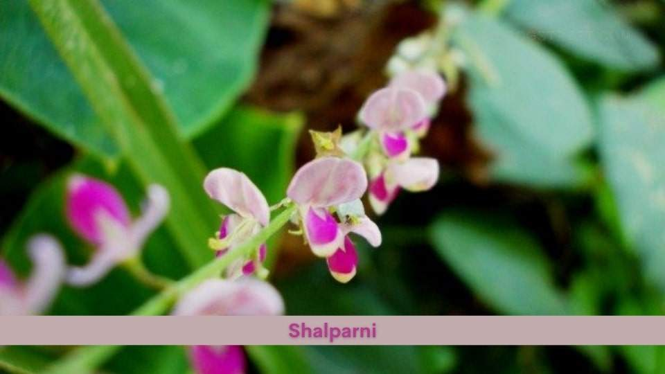 Shalparni Health Benefits