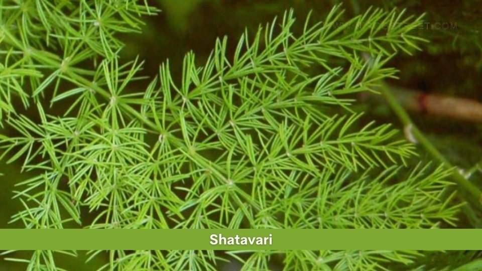 Shatavari Health Benefits