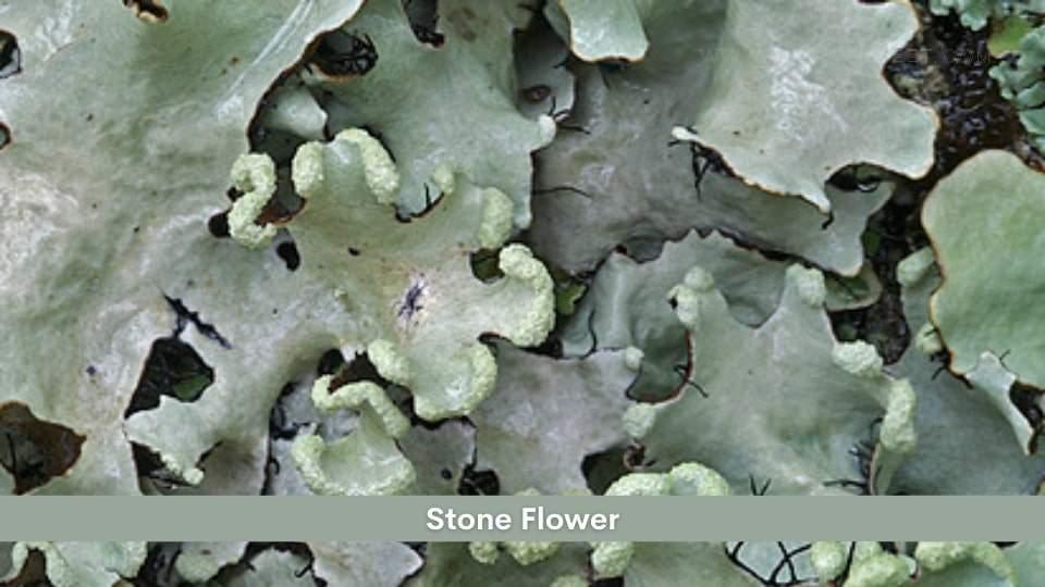 Stone Flower Health Benefits