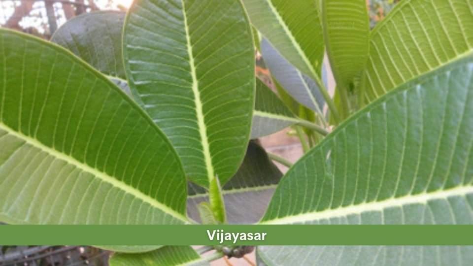 Vijaysar Health Benefits